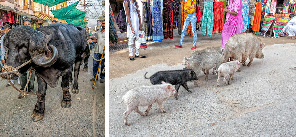Animals wander freely in India, but it was the first time I saw a family of pigs in the main street of the Pushkar Camel Festival. The two-ton water buffalo was being shown off prior to his competition the next day.