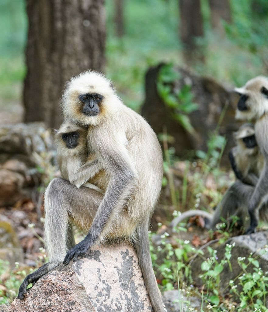 Grey Langur Monkey with baby